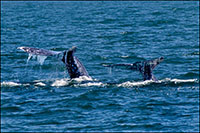 Gray whale tail